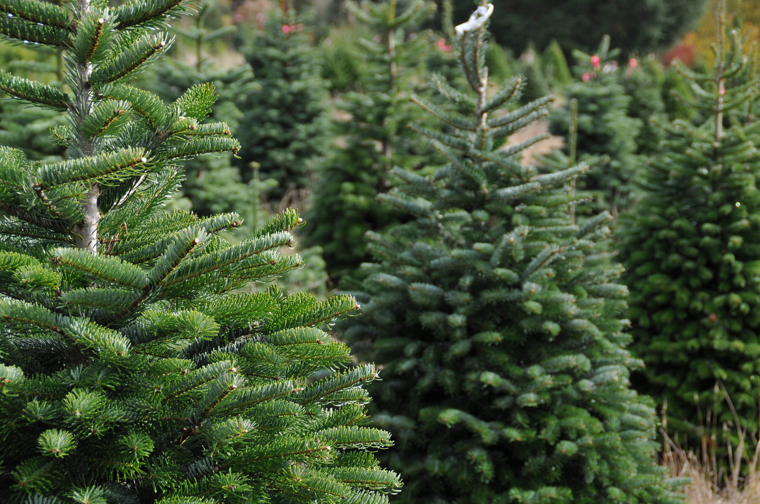 How to Decide Between Flocked and Regular Artificial Christmas Trees